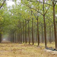 Paulownia plantation